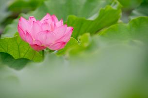ハス Lotusの写真素材 [FYI04591593]