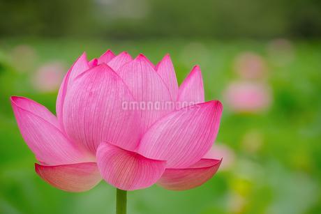 ハス Lotusの写真素材 [FYI04591594]