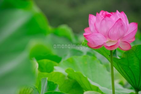 ハス Lotusの写真素材 [FYI04591595]