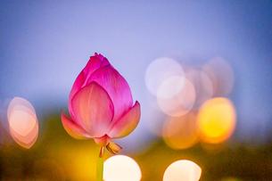 ハス Lotusの写真素材 [FYI04591596]