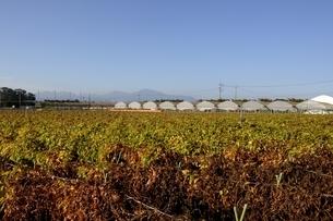 鳥取,青空と山の芋栽培の写真素材 [FYI04591677]