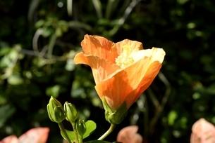 とっとり花回廊,大温室ハイビスカス,熱盛の写真素材 [FYI04591704]