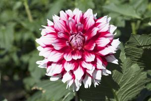 ダリアの花の写真素材 [FYI04591886]