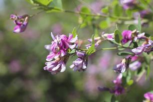 ハギの花の写真素材 [FYI04591954]