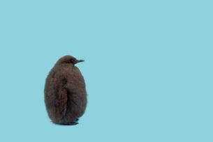 ペンギンのひなの写真素材 [FYI04592165]