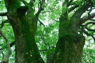 苔むした新緑の楠の写真素材 [FYI04592171]