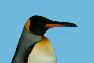 ペンギンの横顔の写真素材 [FYI04592172]