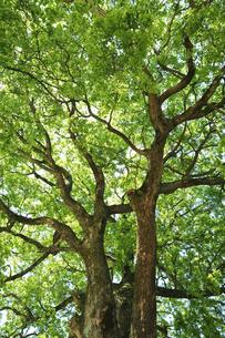 新緑の樹の写真素材 [FYI04592185]