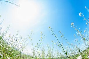なずなの花畑と青空と太陽の写真素材 [FYI04592202]
