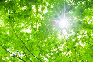 新緑の林に差し込む日差しの写真素材 [FYI04592205]