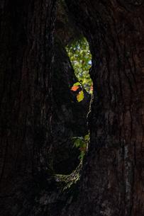 樹の新芽に差し込む日差しの写真素材 [FYI04592206]
