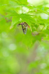 葉に留まるカゲロウの写真素材 [FYI04592207]