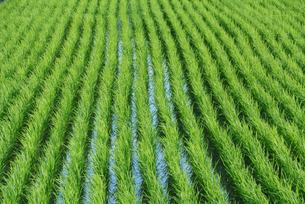 水田の稲の写真素材 [FYI04592214]