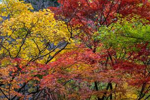 紅葉した樹々の写真素材 [FYI04592230]