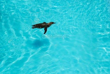 動物園のプールで泳ぐペンギンの写真素材 [FYI04592238]