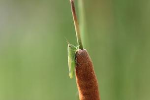 蒲につかまるバッタの写真素材 [FYI04592338]