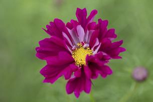 コスモスの花の写真素材 [FYI04592570]