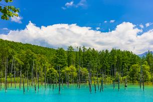 美瑛の白金青い池の写真素材 [FYI04592590]
