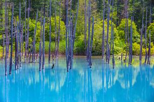 美瑛の白金青い池の写真素材 [FYI04592596]
