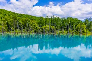 美瑛の白金青い池の写真素材 [FYI04592606]