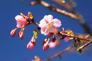 カワヅザクラの花咲くの写真素材 [FYI04592788]