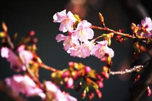 カワヅザクラの花咲くの写真素材 [FYI04592790]