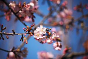 カワヅザクラの花咲くの写真素材 [FYI04592791]