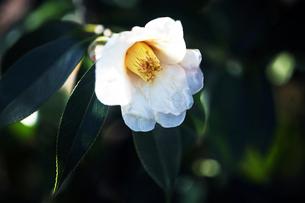 侘助の白い花の写真素材 [FYI04592869]