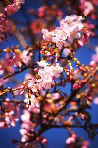 カワヅザクラの花咲くの写真素材 [FYI04592898]