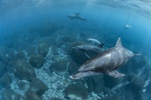 ミナミハンドウイルカの写真素材 [FYI04592949]