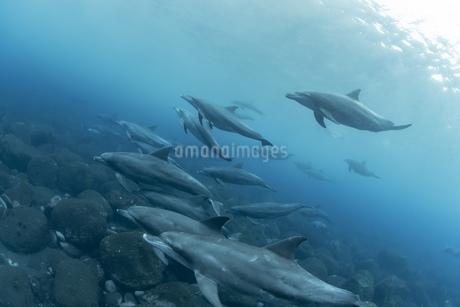 ミナミハンドウイルカの写真素材 [FYI04592951]