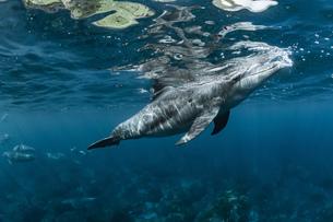ミナミハンドウイルカの写真素材 [FYI04592956]