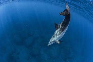 ミナミハンドウイルカの写真素材 [FYI04592962]