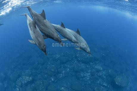 ミナミハンドウイルカの写真素材 [FYI04592963]