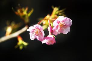 河津桜の花咲くの写真素材 [FYI04592985]