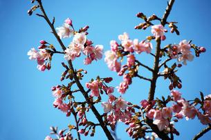 青空に咲く河津桜の花の写真素材 [FYI04592986]