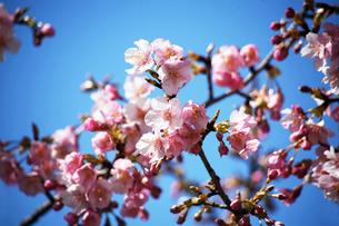 青空に咲く河津桜の花の写真素材 [FYI04592987]