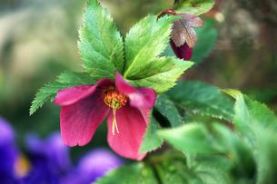 クリスマスローズの花の写真素材 [FYI04592991]