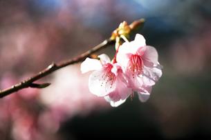 河津桜の花咲くの写真素材 [FYI04592995]