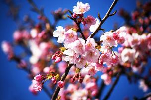青空に咲く河津桜の花の写真素材 [FYI04592996]