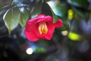 ヤブツバキの花咲くの写真素材 [FYI04593000]