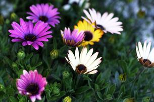 オステオスペルマムの花の写真素材 [FYI04593001]