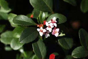 小さなシャリンバイの花の写真素材 [FYI04593002]
