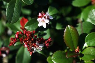 小さなシャリンバイの花の写真素材 [FYI04593003]
