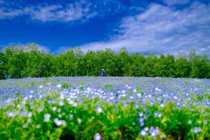 ネモフィラの花畑の写真素材 [FYI04593059]