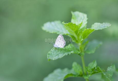 ミントの葉にとまっているヤマトシジミの写真素材 [FYI04593183]