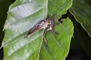 ハエ類を捕らえて栗の葉に止まるサキグロムシヒキの写真素材 [FYI04593245]