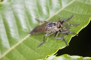 アシナガバエを捕らえて栗の葉に止まるサキグロムシヒキの写真素材 [FYI04593251]