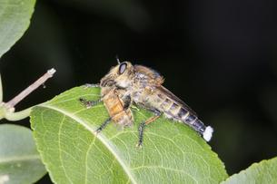 蜜蜂を捕らえてマユミの葉に止まるシオヤアブのオスの写真素材 [FYI04593264]