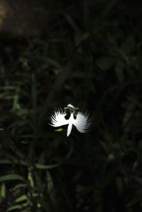 サギ草の写真素材 [FYI04593289]